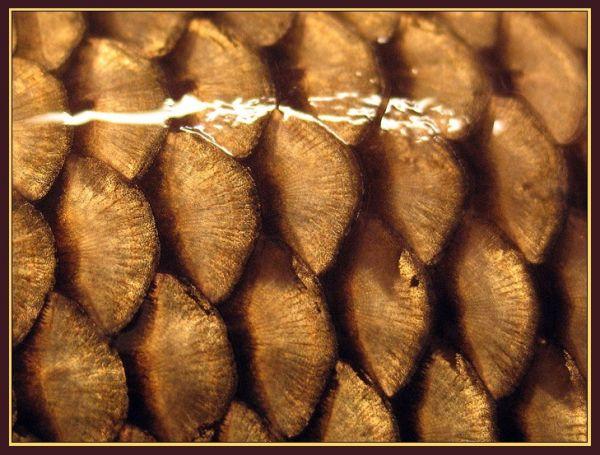 Даже одной чешуйки достаточно, чтобы считать рыбу кошерной.  Чешуя легко отделяется от кожи.